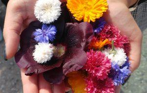Blüten, Beeren und Blätter werden von Agroproduct gesammelt, getrocknet und verkauft.
