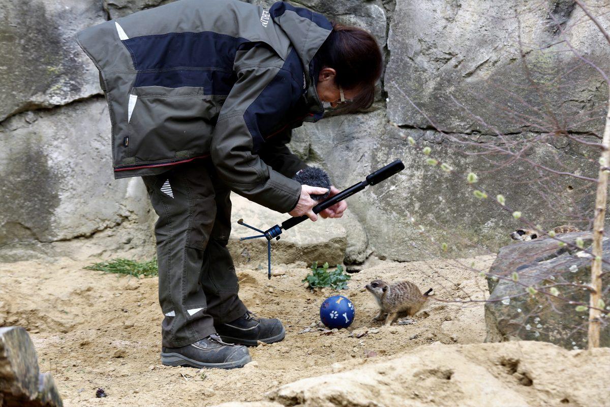 Für die beste Perspektive. Eine Tierpflegerin bringt eine kleine 360°-Kamera in das Erdmännchen-Gehege.